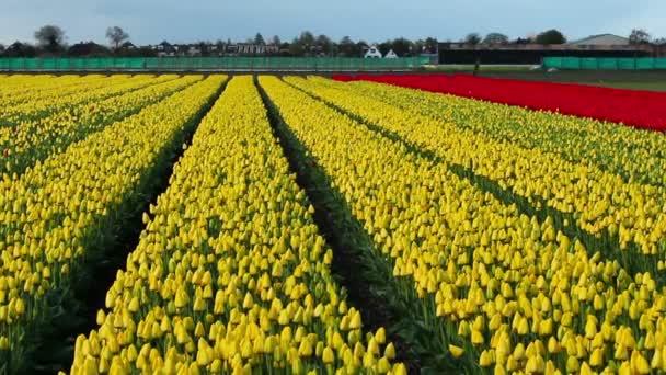 Kultivované žlutý Tulipán pole