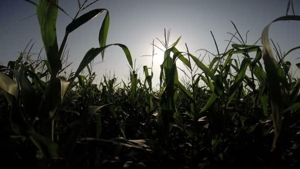 západ slunce v kukuřičném poli