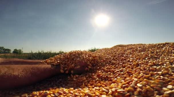 Hrstka zlatých kukuřičných zrn