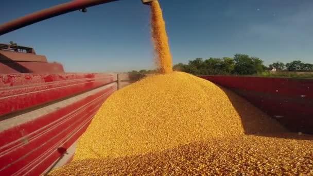 Spojit kombajn nalévá semena kukuřice po sklizni