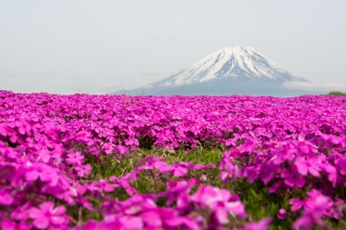 Mount Fuji and a carpet of pink flowers