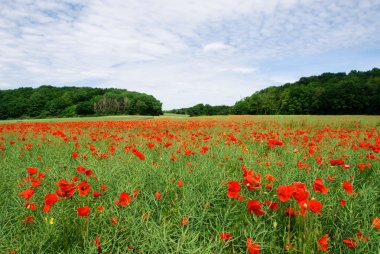 Endless poppy field in central France