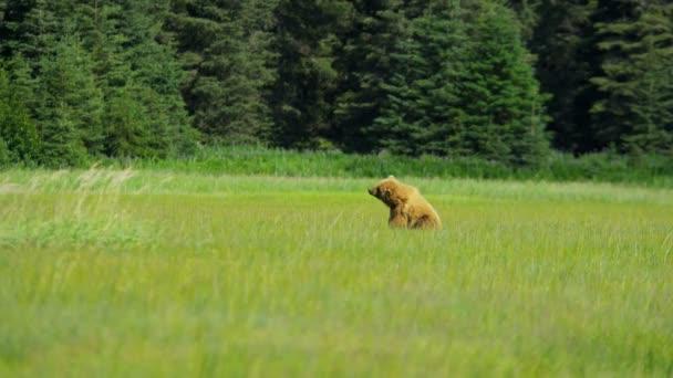 Ženské medvěd hnědý krmení v trávě