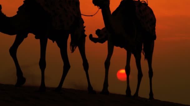 camels being lead through desert sands