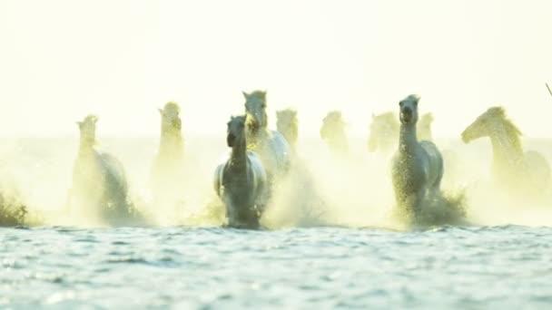 stádo koní Camargue s kovboji
