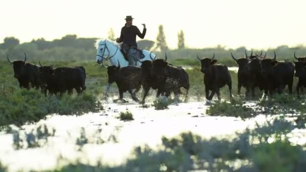 herd of Camargue bulls with cowboys