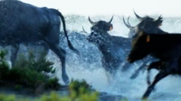 stádo býků Camargue