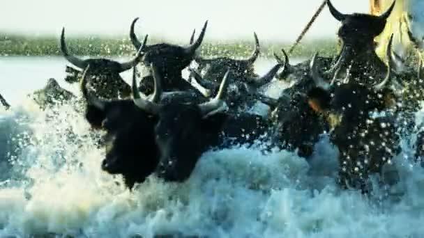 stádo býků Camargue s kovboji