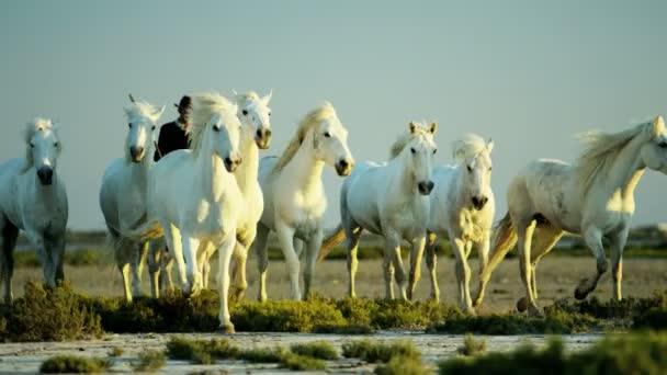 stádo koní Camargue s kovbojové