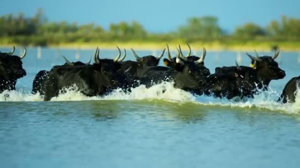 stádo býků běží přes mořské mělčině