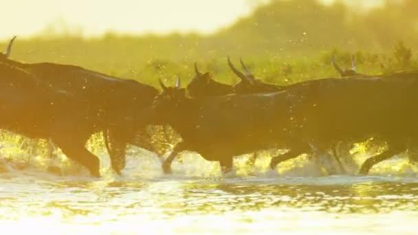 Camargue býci běh přes bažiny