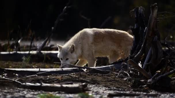 North American wolf in woodland