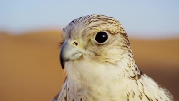 Testa di un falco di Saker nel deserto