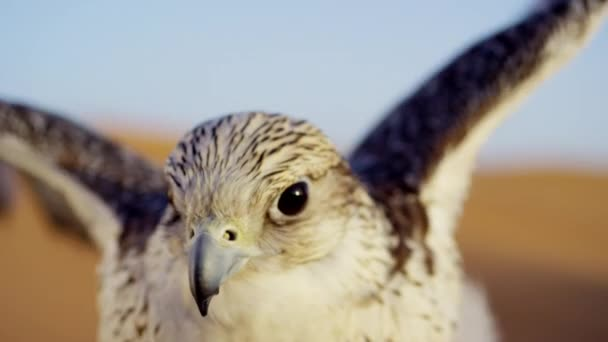 Uccello della preda nel deserto di Dubai
