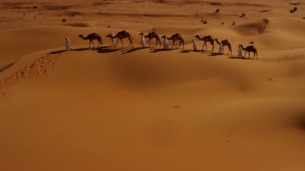 camels being led by handlers across desert