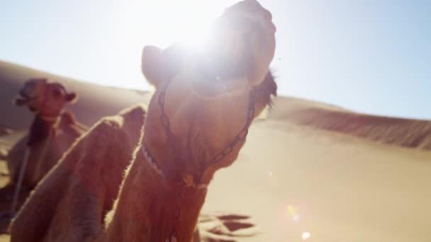 Camels resting on safari in desert