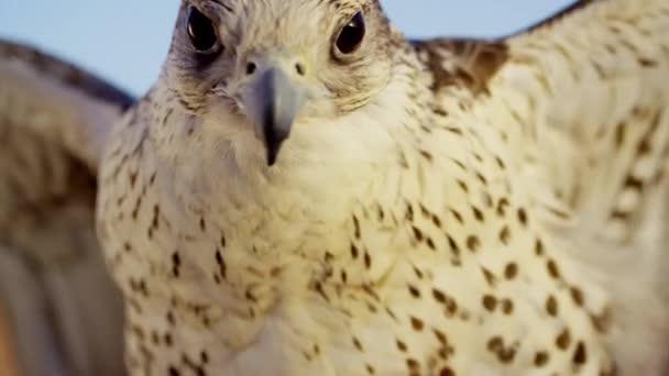 Falco sacro nel deserto arabo