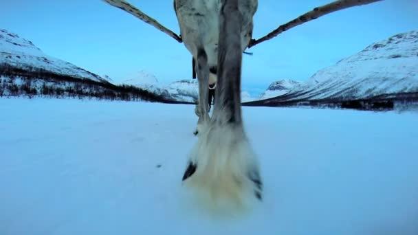 Norský sobí tahání saní