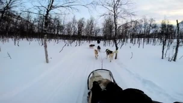 Dogsledding strong animal team working