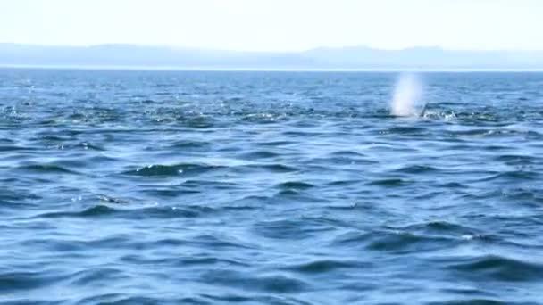 Orcinus orca whale swimming in ocean waters