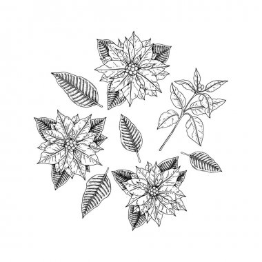 Set of hand drawn poinsettia flowers, leaves and branches isolated on white background. Christmas design elements. Vector illustration in sketch style. icon