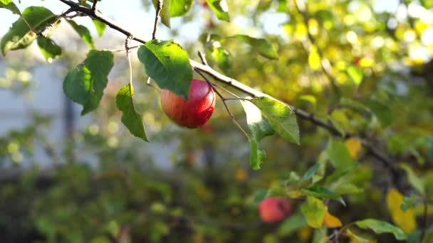 Close up of branch with red apple in garden. Ripe apple on tree. Concept of organic products and eco-friendly lifestyle