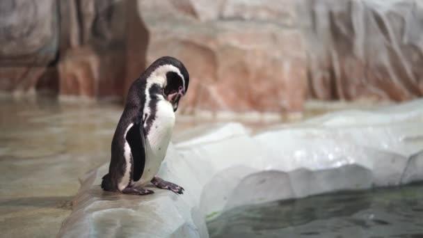 Pingvin megtisztítja magát a parton, a víz közelében. Akváriumban tisztított tengeri madár.