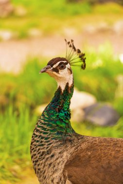 Peacock female outdoors