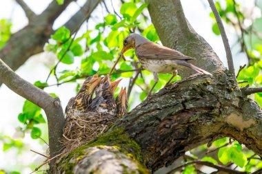 mother bird feeding baby birds in the nest