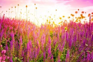 field of wild pink salvia nemarosa