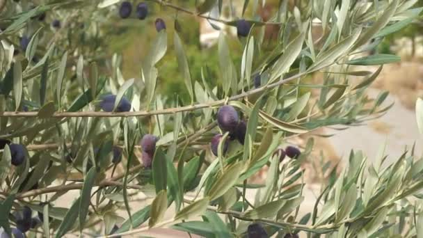 Branch of Olives under the sun. Olive tree with growing ripe black olives