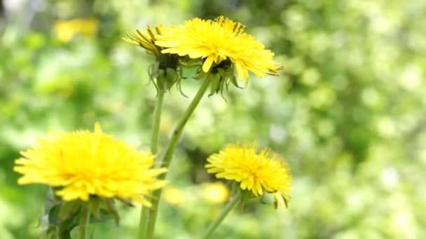 Gelber Löwenzahn auf der grünen Wiese