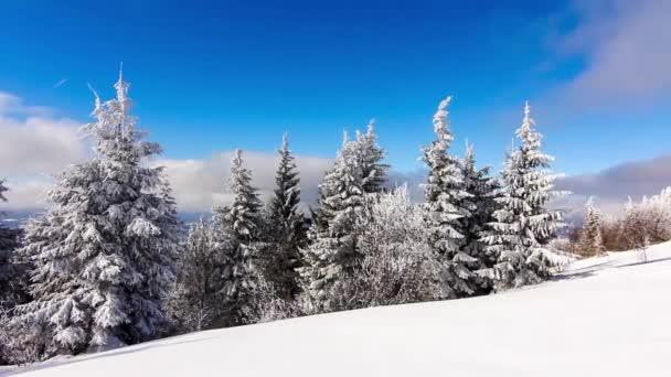 Téli táj nagy lucfenyő és hó a hegyekben