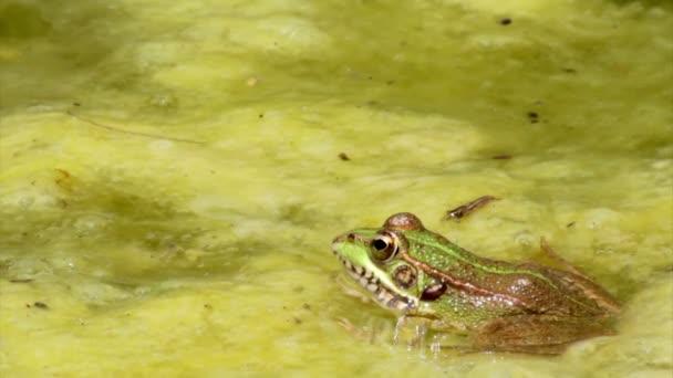 Frosch sitzt im Gartenteich und springt am Clip-Ende