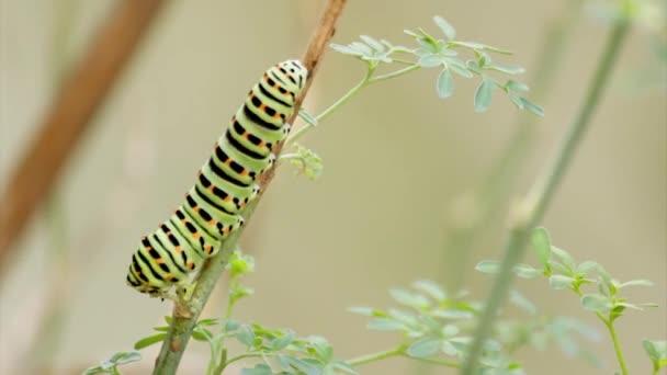 Papilio machaon motýlí housenky jíst Ruta chalepensis rostliny time-lapse. První fáze transformace The Old World otakárek, motýl z čeledi Papilionidae