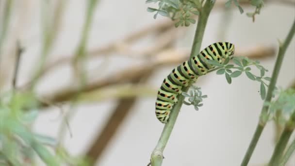Papilio machaon Schmetterling Raupe frisst Ruta chalepensis Pflanze Zeitraffer. die erste Transformationsstufe des Schwalbenschwanzes der alten Welt, ein Schmetterling der Familie der Papilionidae.