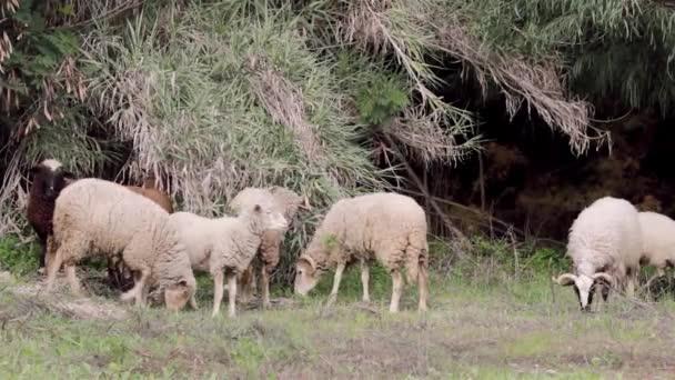 Schafherde weidet auf mediterranem Grasland