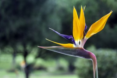 Strelitzia reginae is a monocotyledonous flowering plant indigenous to South Africa. Popular as ornamental low-maintenance plant around the world.