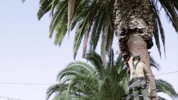 Kanári datolyapálma palm tree tisztítására és megmunkálására, részeként-ból Rinchoforus ferrugineus, piros tenyér Ormányosbogár-szerűek, kártevők elleni védekezés, a mediterrán országokban