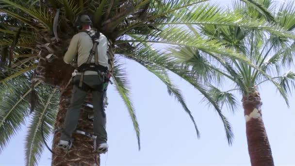 Kanári datolyapálma palm tree tisztítására és megmunkálására, részeként-ból Rinchoforus ferrugineus, piros tenyér Ormányosbogár-szerűek, kártevők elleni védekezés, a mediterrán országokban. Algarve