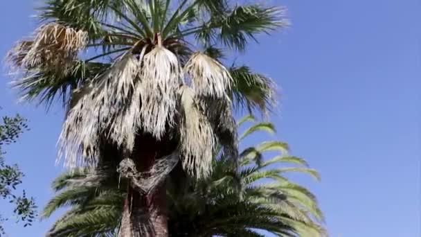 Washingtonia robusta palm tree tisztítás és kezelés, részeként-ból Rinchoforus ferrugineus, piros tenyér Ormányosbogár-szerűek, kártevők elleni védekezés, a mediterrán országokban. Algarve