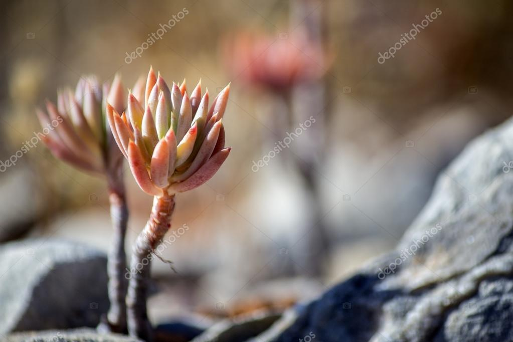Sedum sediforme in the wild, a genus of flowering plants in the family Crassulaceae, cultivated as low maintenance garden plants
