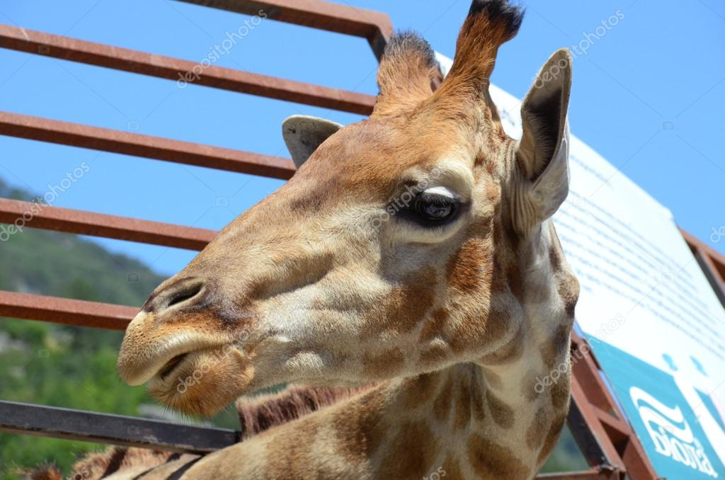 CRIMEA - CIRCA JUNE 2015: Giraffe Jora, a favorite of visitors to Yalta zoo