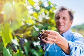 Fotografia Uomo anziano in camicia blu raccolta delluva nel giardino