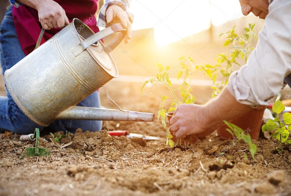 couple planting onion