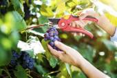 Fotografia donna raccolta uva