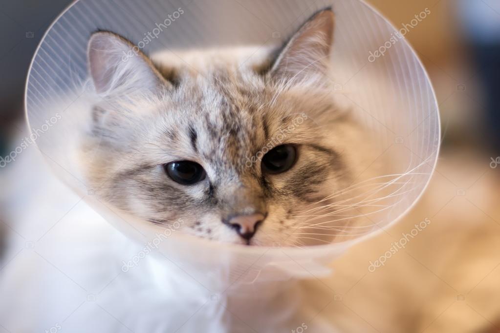 Piękny Kot Syberyjski Neva Masquerade W Kołnierz Z Tworzywa
