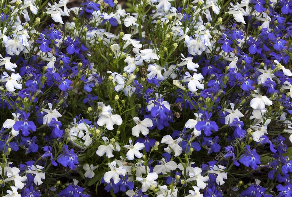 Blumen Hintergrund des blauen und weißen Blumen Lobelien — Stockfoto ...