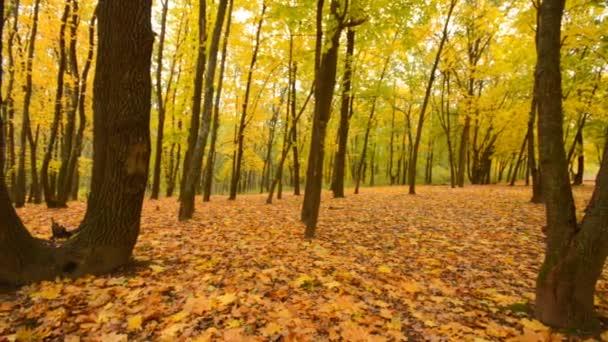 Panoramatický pohyb lesem barevný podzim
