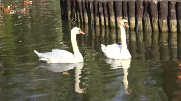 Sladké pár bílé labutě na vodě